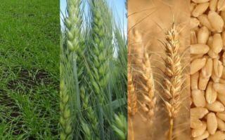 Особенности возделывания озимой пшеницы