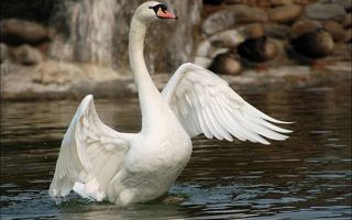 Лебедь. Описание вида и интересные факты