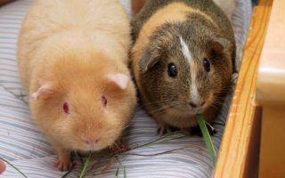 Заболевания морских свинок, вызванные паразитами