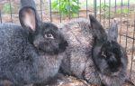 Виды кроликов породы шиншилла