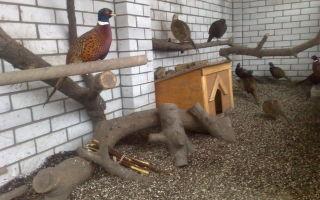 Особенности разведения фазанов: содержание и уход в домашних условиях