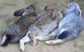 Разнообразие пород кроликов великанов