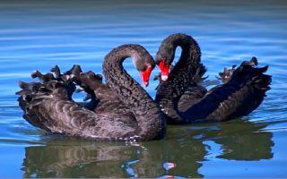 О черных лебедях