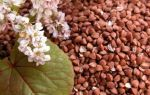 Виды сортов гречихи и урожайность культуры в разных климатических зонах
