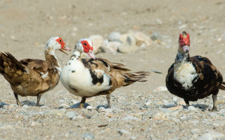 Разведение мускусной утки