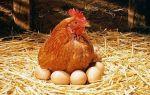 Разведение и выращивание кур в домашних условиях