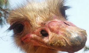 Интересное о страусах