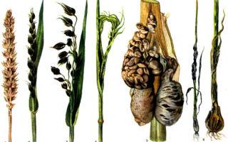 Как бороться с головней пшеницы