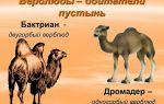 Подвиды и особенности верблюдов