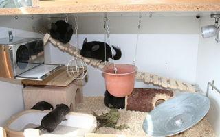 Шиншилла в домашних условиях: содержание и уход