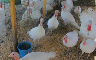 Правила выращивания индюков для начинающих фермеров в домашних условиях