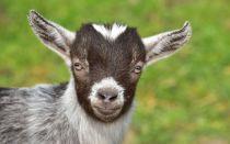 Клички для козлят — как выбрать