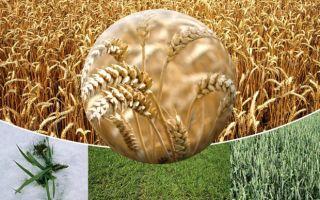 Особенности строения пшеницы