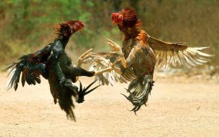 Особенности видов бойцовских кур и петухов