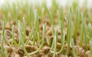 Особенности проращивания пшеницы в домашних условиях
