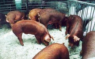 Свиньи породы дюрок – краснокожие из Америки