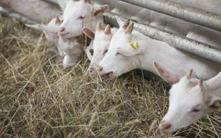 Кормление и содержание коз в зимний период
