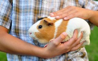 Дрессировка и приручение морских свинок
