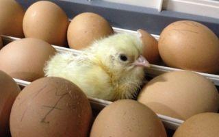 Температура яйца на разных стадиях развития эмбриона в инкубаторе