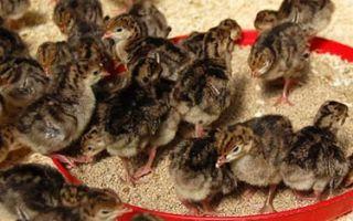 Чем кормить индюшат в первые дни жизни
