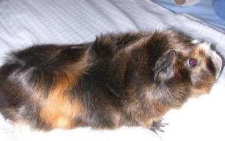 Морские свинки абиссинской породы