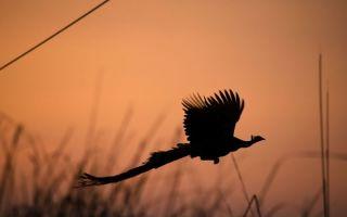 Умеют ли летать павлины