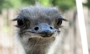 Характеристика видов страуса