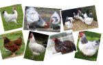 Характеристика мясо — яичных пород кур