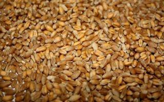 Сорта дикой пшеницы