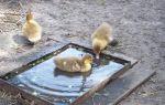 Яйца индоуток: процесс инкубации и ухода за птенцами