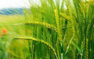 Чем отличается рожь от пшеницы и ячменя