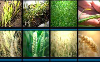 Технология выращивания пшеницы