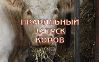 Правильный запуск коровы перед отёлом