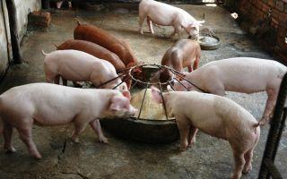 Выращивание свиней для себя: обустройство хлева и правила кормления