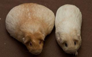 Особенности родов у морской свинки