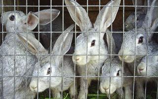 Основные моменты по составлению бизнес плана по разведению кроликов