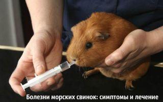 Чем болеют морские свинки