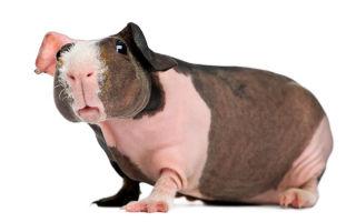 Породы лысых морских свинок