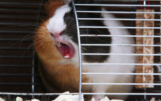 Причины и лечение чихания у морских свинок