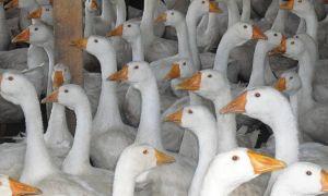 Как самостоятельно выполнить инкубацию гусиных яиц
