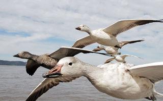 Дикие и домашние гуси