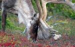 Питание северного оленя в природе