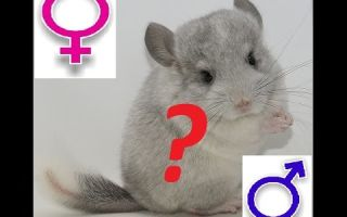 Определение пола у шиншиллы