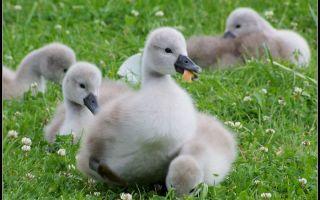 Интересные факты о птенцах лебедя