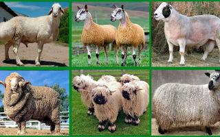 Разнообразие пород овец