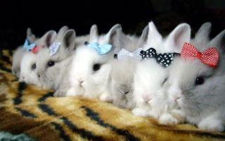 Кролики декоративных пород – описание с фото и особенности содержания