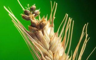 Заболевания яровой и озимой пшеницы