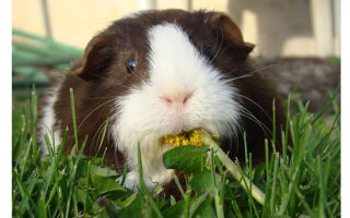 Причины и лечение поноса у морских свинок