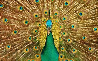 Интересное о птицах павлинах
