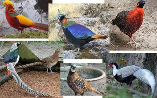 Описание популярных пород фазанов